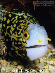 Clouded Moray Eel, Sabah Borneo, Nikon F90x, F16, Velvia ... by Richard Swann