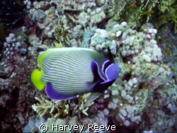 Emperor Angelfish by Harvey Reeve