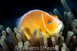 clown fish spleping by Alberto D*este