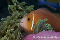 Curious Clownfish takenin the Lhavijani Atoll with a Cano... by Barbara Schilling