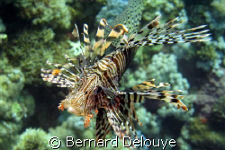 Lion fish from Panorama Reef...