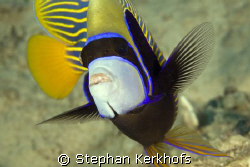 Emperor Angelfish (Pomacanthus imperator) taken in middle... by Stephan Kerkhofs
