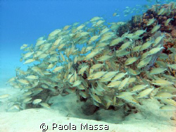 group of snapper Olympus 8080 wide angle, natural light  by Paola Massa