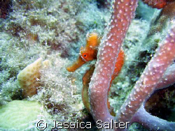 This is a orange camera shy sea horse. This photo was tak... by Jessica Salter
