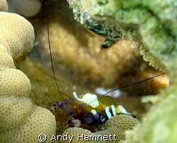 Anemone Shrimp, hard to photograph because the sea was ch... by Andy Hamnett