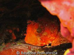 Small blenny by Beatrice Primatesta