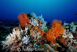 A beautiful soft coral patch in crystal clear water by Nedip Emin