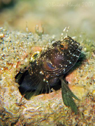 Sailfin Blenny (Emblemaria pandionis) cautiously leaving ... by Brian Mayes
