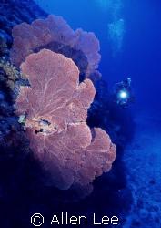 Sea fan.Nikons V 15mm,f8,1/60.RVP100,YS-350. by Allen Lee