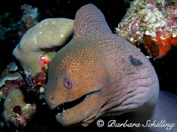 A very curious and photogenic Moray, don't you think? Tak... by Barbara Schilling