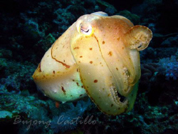 Cuttlefish - Taken at Koala dive site in Anilao, Batangas... by Arthur Castillo