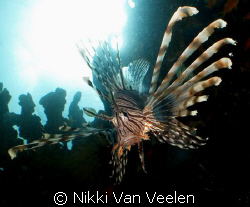 Lionfish sunburst taken at Nabq Park with E300.  by Nikki Van Veelen