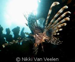 Lionfish sunburst taken at Nabq Park with E300.  by Nikki Van Veelen
