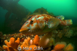 Welcome to my wreck. Friendly Ballan Wrasse on wreck of h... by Mike Clark