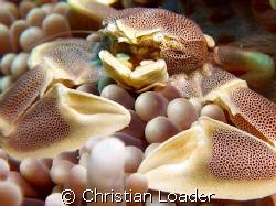 Porcelain Crab in Anemone. - at Koimalaa Corner, Baa Atol... by Christian Loader