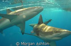 Galapagos sharks off Hawaii's North Shore. Taken with a S... by Morgan Ashton