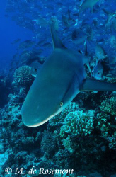 Facing the grey reef shark. D50/12-24mm one strobe (borab... by Moeava De Rosemont