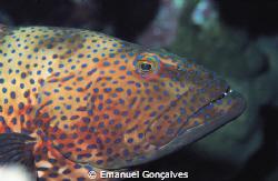 Plectropomus pessuliferus (Roving coral grouper), Egyptia... by Emanuel Gonçalves