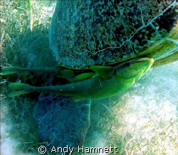"""On a free ride. Remoras on """"Morla"""" the turtle.  by Andy Hamnett"""