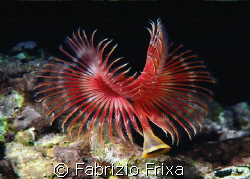 "Detail of a marine worm ""serpula vermicularis"" very diffi... by Fabrizio Frixa"