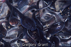 these tadpoles were all tightly grouped in a small area u... by Gregory Grant