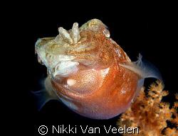 Cuttlefish taken on a night dive at Ras Umm Sid. by Nikki Van Veelen