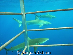 Galapagos Sharks through the cage. North Shore, Hawaii. T... by Morgan Ashton