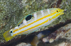 I was very happy to find this little juvenile Puddingwife... by Jim Chambers