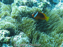 Pink Anemone fish - A special little fish only found in F... by Jenny Dodson