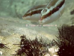 Gilos or Ilios(SunFish) Eating  :-) by Antonis Tsakiris
