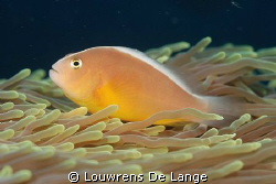 Skunk or nosestripe anemonefish by Louwrens De Lange