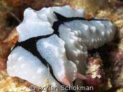 Full Frame Nudi Shot... Taken at Mabul Island - Olympus E... by Adrian Schokman
