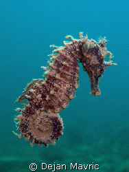 Swimming sea horse, just lifted from a murky seabed. Take... by Dejan Mavric