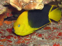 A rare beauty.<><><> Rock Beauty (Holacanthus tricolor)<>... by Brian Mayes