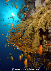 Colorful reef sunburst shot taken at Marsa Bareika, Ras M... by Anel Van Veelen