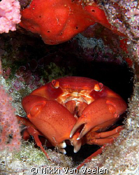 Coral crab taken at Ras Umm Sid on a night dive. by Nikki Van Veelen