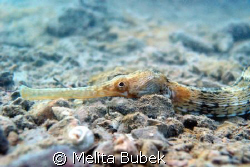 Pipefish / Sistiana near Trieste by Melita Bubek