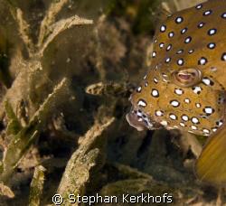 Yellow boxfish fem. (ostracion cubicus) taken in Na'ama bay. by Stephan Kerkhofs