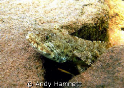 Lizard fish waiting for dinner. by Andy Hamnett