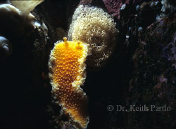 Eight inch Orange peel nudibranch with egg case. Location... by Keith Partlo