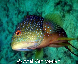 Grouper take n with SP350 in Ras Mohamed. by Anel Van Veelen