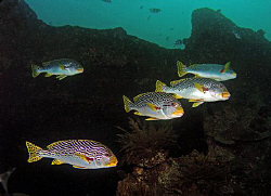 Sweetlips peeling off on the Liberty wreck, Tulamben by Doug Anderson