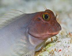 Redlip Blenny (Ophioblennius macclurei) on Bonaire. by Jim Chambers