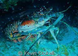 Another large crustacean, this time off the north shore o... by Kevin Stokell
