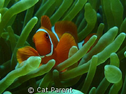 Anemone fish by Cat Parent