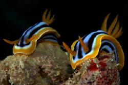 Pyjama slugs on Elpinstone reef, Egypt. by Dray Van Beeck