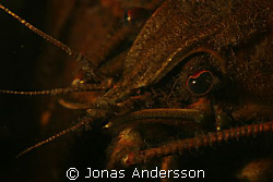 freshwater crayfish try to flirt to the camera by Jonas Andersson