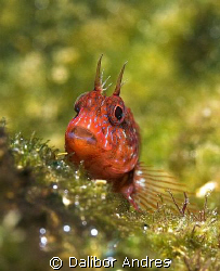 Curiosity blenny, EOS 350D, EF-S 60mm by Dalibor Andres