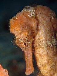 Longsnout Seahorse (Hippocampus reidi)<><><>Canon G7, St ... by Brian Mayes