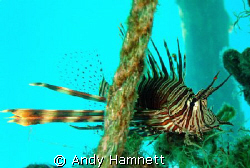 Lion Fish eyeing me up.  by Andy Hamnett